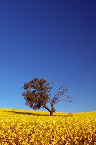 Yellow Iphone Wallpaper on Lonely Yellow Tree Iphone Wallpaper   Idesign   Iphone