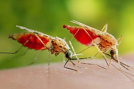 Mosquitos transmisores de la malaria. | Science