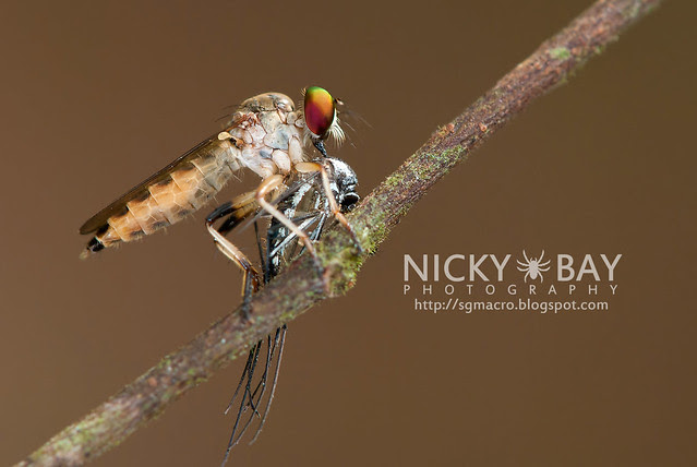 Robberfly (Asilidae) - DSC_2938
