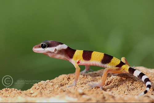 Fat Tailed Gecko. by GHULAM RASOOL MUGHAL