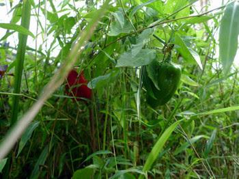 草の中のパプリカ