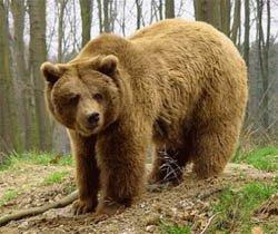ОЛЕКМИНСКИЙ - бурый медведь