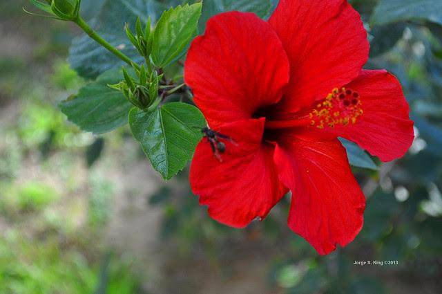 Sinesia la flor de julio