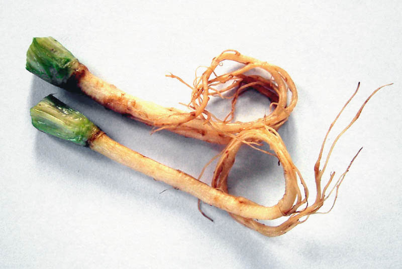 File:Coriander roots.JPG