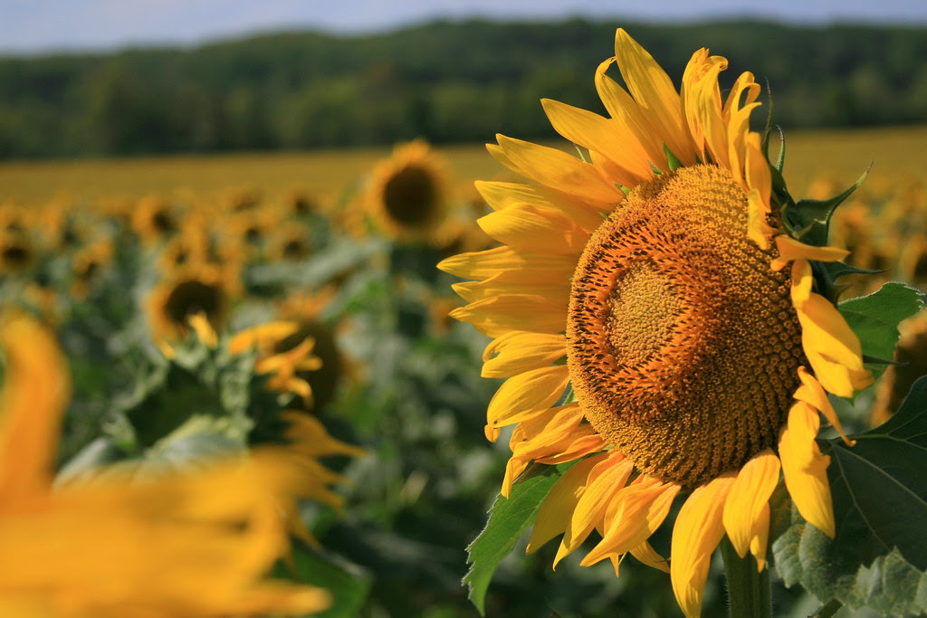 Sunflower Field In North Georgia Heres A Link To A