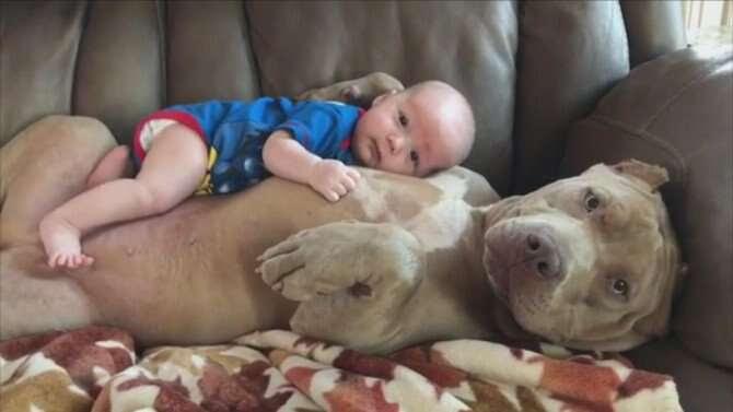 Fotos mostrando que os Pit bulls são tão assustadores e terríveis