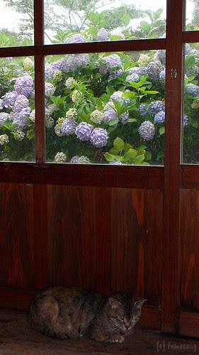 Hydrangea by tomosang R32m
