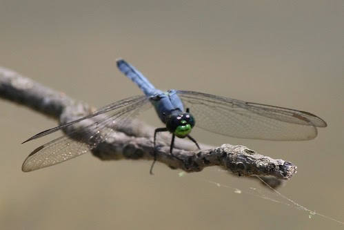 IMG_1059_Blue_Dragonfly_with_Green_Mouth