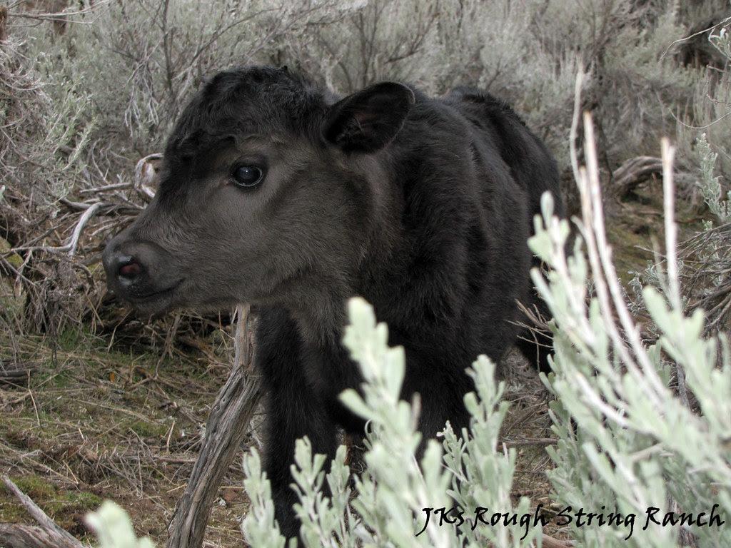 The Lil' Heifer