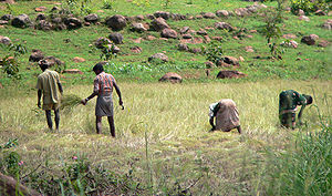 Farmers harvesting paddy near Vellore, Tamil N...