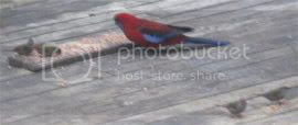 Crimson rosella and red-browed finches