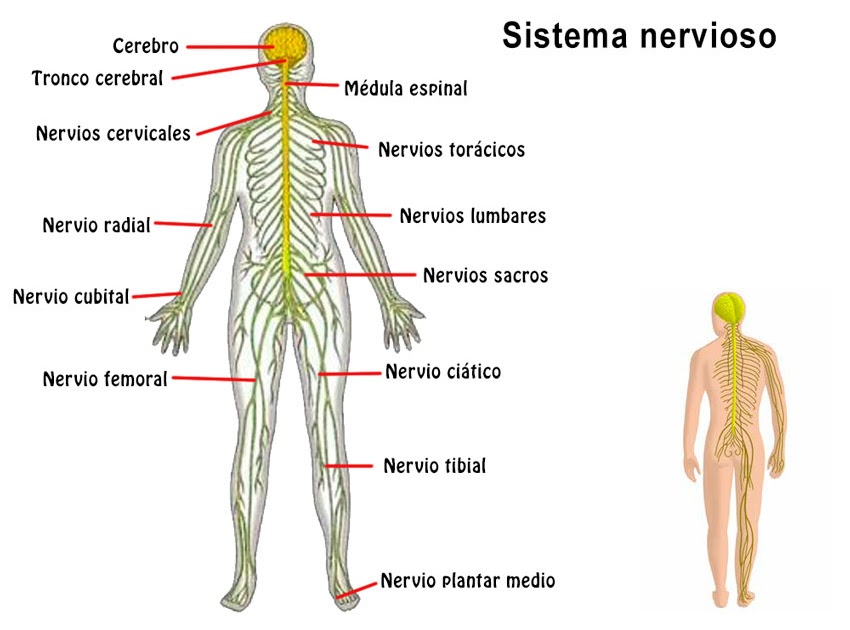El Sistema Nervios