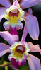 Orquídea Lc Wolterae