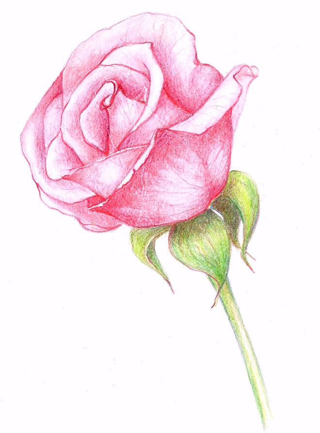 Rose Cute Flowers Drawing Rose Drawing