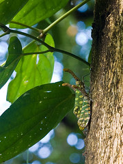 green lantern bug from Danum Valley IMG_9370 copy crop