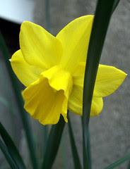 Daffodil_50309