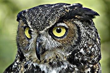 Face of a Common Great Horned Owl (B. v. virgi...