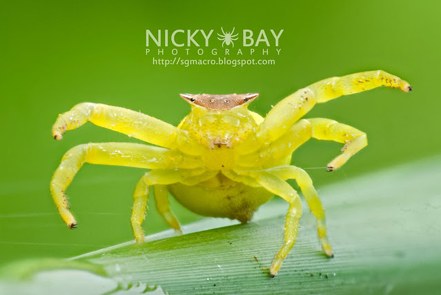 Crab Spider (Thomisidae) - DSC_7463