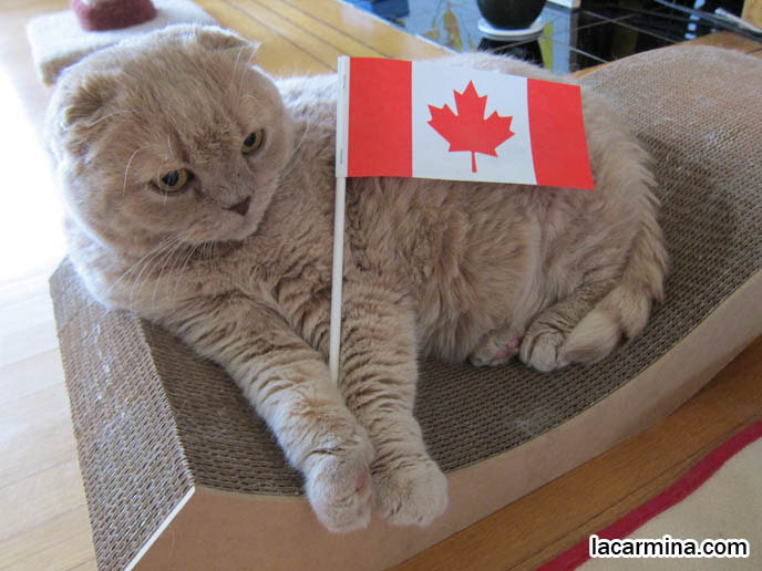 PATRIOTIC CAT HOLDING CANADIAN FLAG, PETS CELEBRATING CANADA DAY. FAT CAT SITTING, NEEDING ATTENTION. FUNNY CAT, CELEBRITY PET PHOTOS, FAMOUS FAT CATS. SPOILED CELEBRITY CATS, SCOTTISH FOLD PUREBRED BREEDER. SCOTTISH FOLD BABY CAT PHOTOS, CUTEST PUREBRED RARE BREEDS OF CATS, FOLDED EARS GENE, GENETIC DEFORMITY IN CATS HEALTH ISSUES, cute baby kitten scottish folds, munchkin fold eared PET CAT PHOTOS,  スコティッシュフォールド, 猫