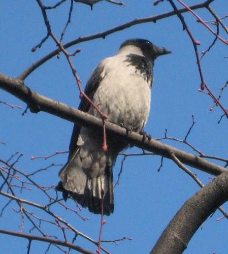 Eastern crow