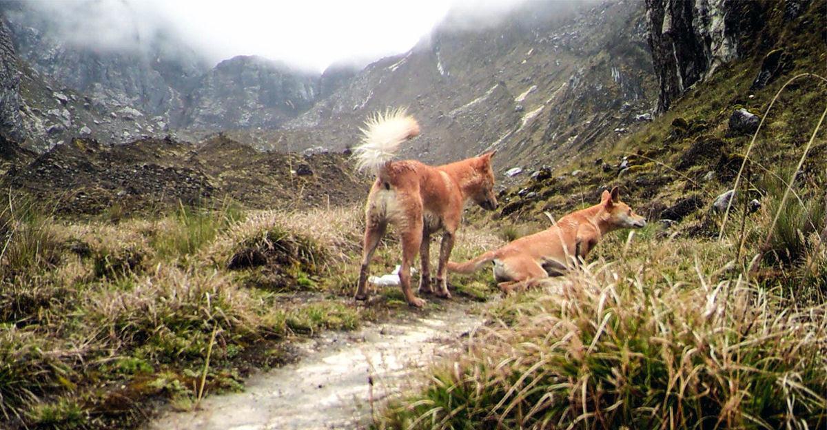 Após meio século conseguem fotografar o cão mais raro do mundo, uma espécie com mais de 6.000 anos