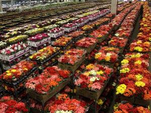 Flores em estoque da cooperativa Veiling Holambra (SP) que serão comercializadas no Dia das Mães (Foto: Rafael Oler)