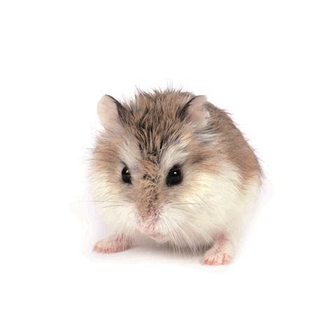 Hamster Archives   MaxiZoo