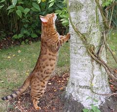 Daniel an F3 Bengal cat