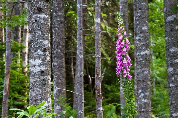 lupine among trees