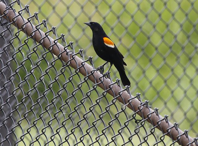 rwbb on fence