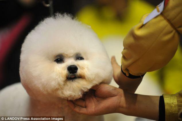 Fluffed up: A guarnições contestant o cabelo de um cão durante uma exposição canina em Hangzhou, capital de Zhejiang ao sul, leste da China Província