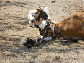 New Longhorn Bull Calf Rosoreo
