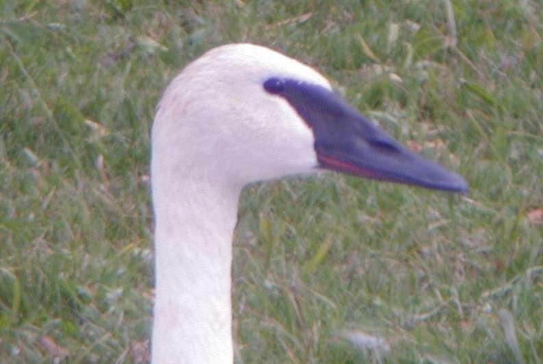 trumpeter swan pictures. Trumpeter Swan Hogsback Rd.