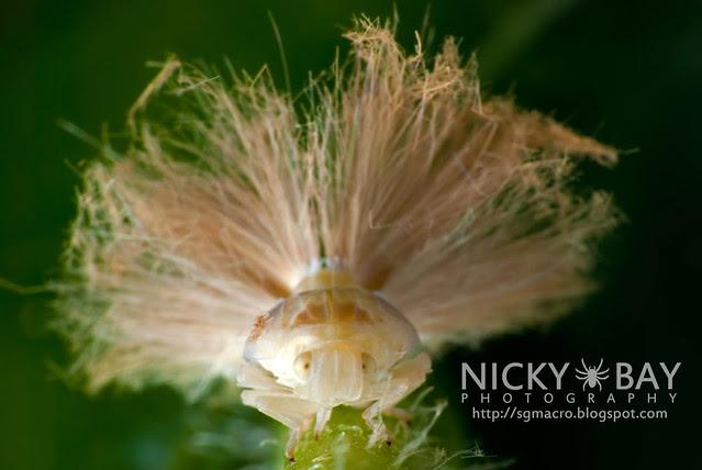 Planthopper (Fulgoromorpha) - DSC_1554