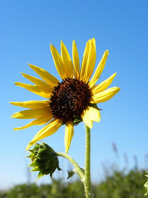 DSCN4343 Sunflower