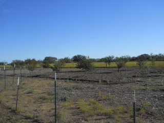 Another Pic of the Orchard, Fall 2013, with Mulching