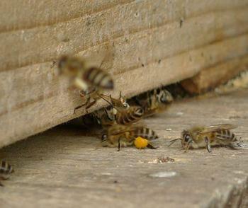 冬を越したニホンミツバチ