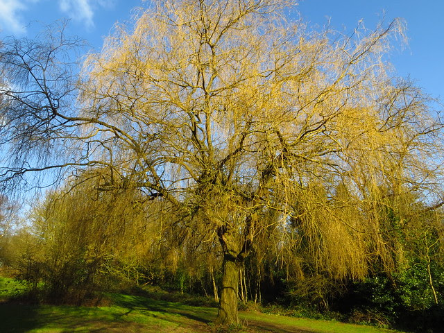 Willow Tree at the Mixed Pond