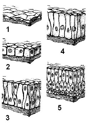 gambar jaringan epitelium