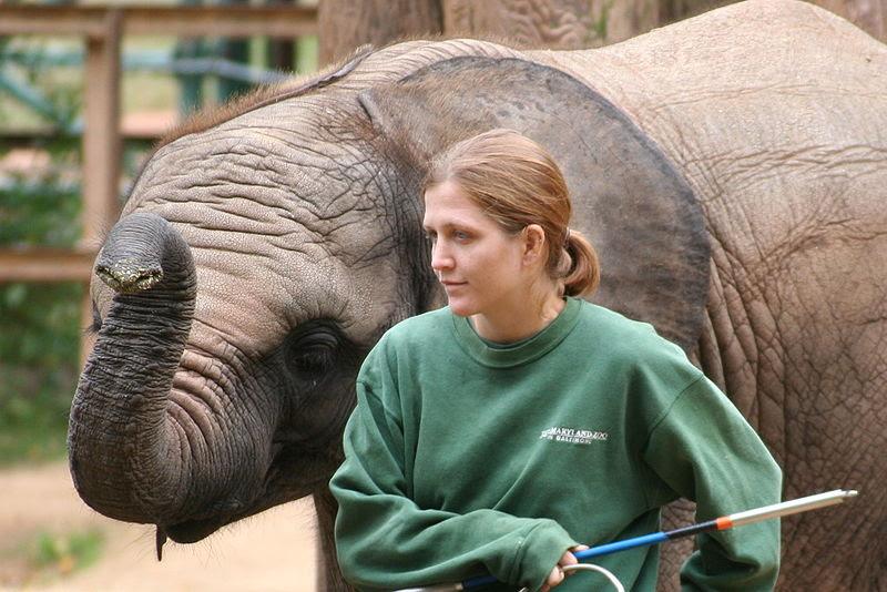 File:Baby elephant and zoo keeper -Maryland Zoo-8a.jpg