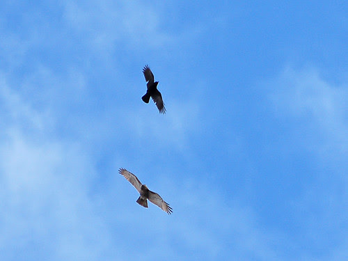 Hawk and Crow
