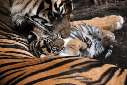 panthera tigris sumatrae by Joachim S. Müller