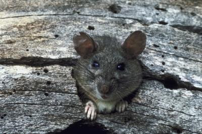Rats tend to hide when frightened or overstimulated.