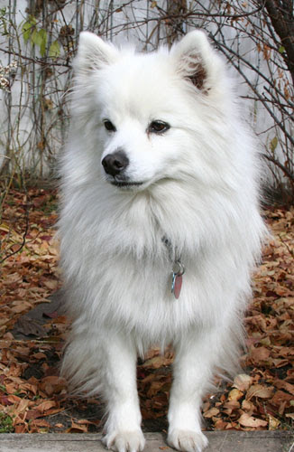 Toy American Eskimo Dog Information, Facts, Pictures, Training and Grooming