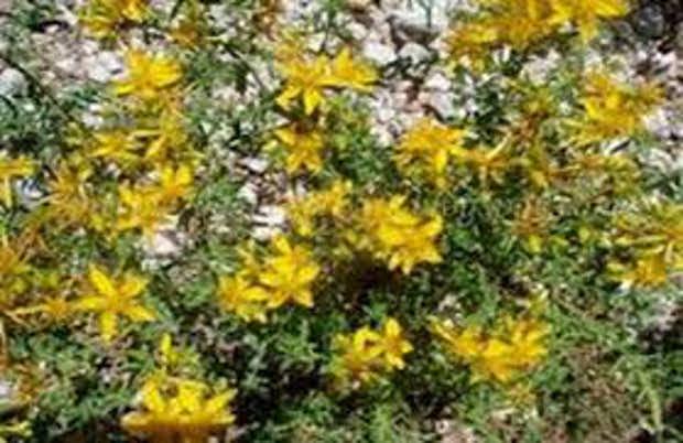 Αγούδουρας ένα εκπληκτικό φαρμακευτικό φυτό