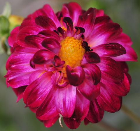 My dinnerplate dahlia grows only about three or four inches across.