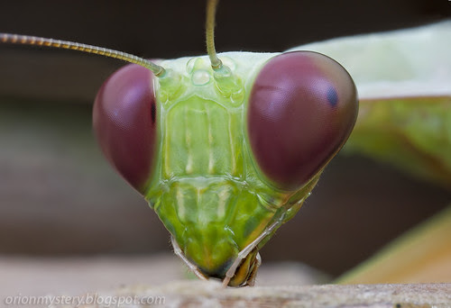 giant asian mantis hierodula sp. IMG_0128 stk copy