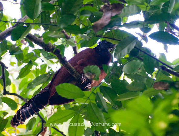 Great Curassow Roosting