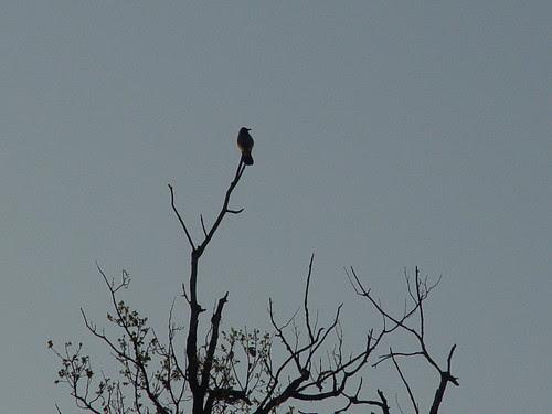 Tom  photo of crow