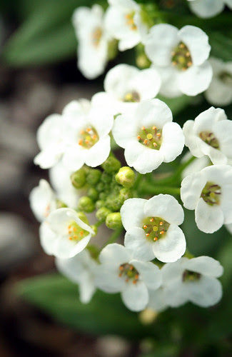 white allysium
